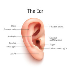 Realistic infographic ear icon vector