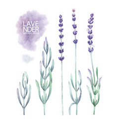Watercolor lavender collection vector