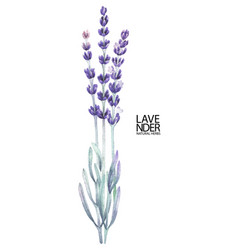 Watercolor lavender bouquet vector