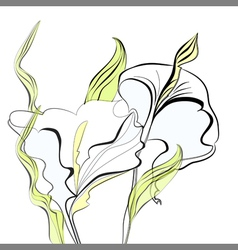 Beautiful calla lilies flowers vector