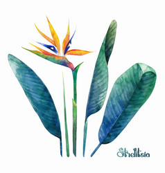 watercolor strelitzia collection vector image