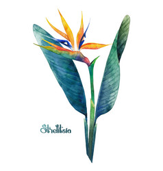watercolor strelitzia bouquet vector image vector image