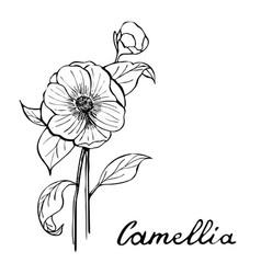 camellia flower botany vector image vector image