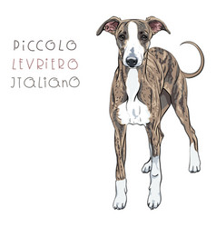 italian greyhound dog breed vector image vector image