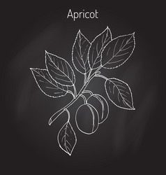 Apricot tree branch vector
