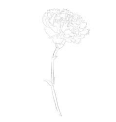 Black and white carnation flower isolated on white vector