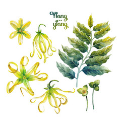 watercolor ylang ylang set vector image vector image