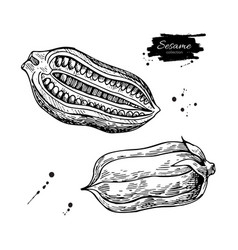 Sesame nut and seed drawing hand drawn vector