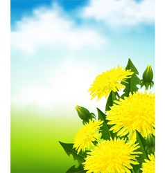 Yellow dandelions vector image