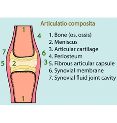 Complex joint  anatomical atlas vector