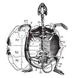 Marsh turtle skeleton vintage vector