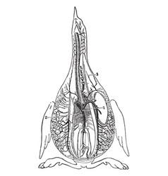 Bird arteries vintage vector