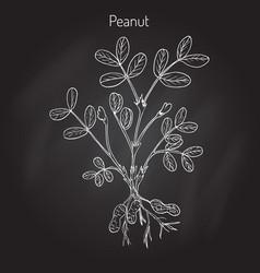 peanut or groundnut arachis hypogaea vector image vector image