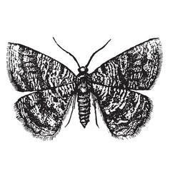 Female geometer moth vintage vector