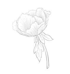 black and white Plant Paeonia arborea Tree peony vector image vector image