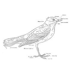 Bird vintage vector