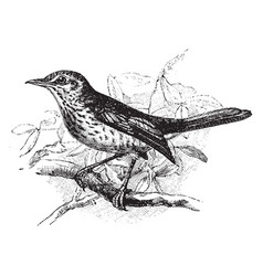 Fieldfare perched on branch vintage vector
