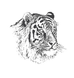 Face of calm tiger vector