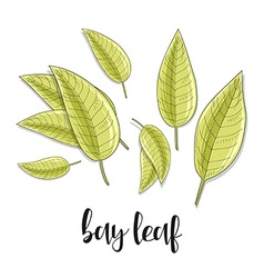 Bay leaves isolated object sketch spice for food vector