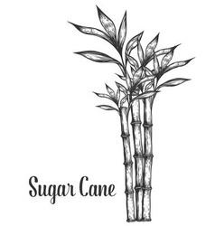 Sugar Cane Plant vector image vector image