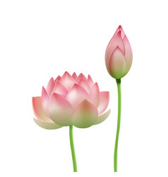 pink lotus flower vector image