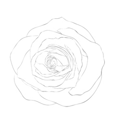 black and white rose isolated on white vector image