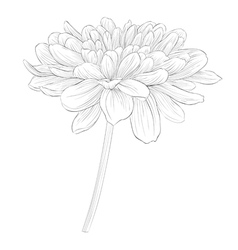 Black and white dahlia flower isolated on white vector