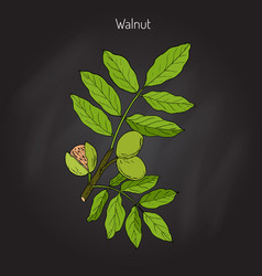 Walnut branch juglans regia vector