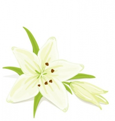 Delicate lily vector