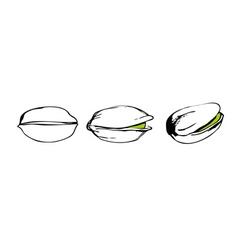 pistachio sketch vector image