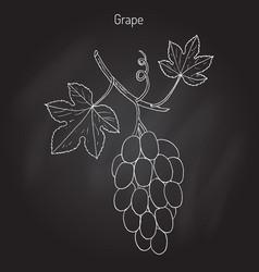 common grape vine vector image