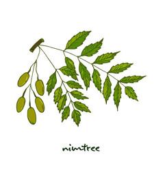 Nimtree medicinal plant vector