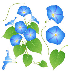 blue morning glory isolated on white background vector image vector image