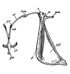 rabbit shoulder girdle vintage vector image vector image
