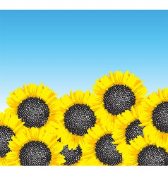 Sunflowers vector