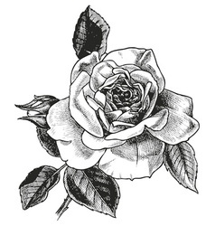 Rose hand drawing vector