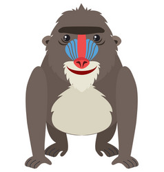 Mandrill baboon on white background vector