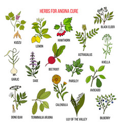 Collection of herbs for angina treatment vector