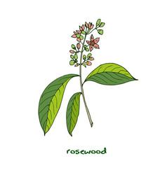 Brazilian rosewood aromatic plant vector