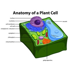 Diagram showing anatomy of plant cell vector