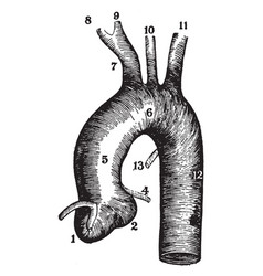 The aorta and connecting arteries vintage vector