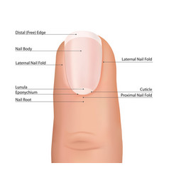 Nail finger anatomy fingernail vector