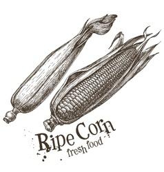 Ripe corn logo design template fresh vector