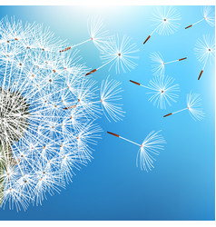 dandelion blowing on blue background vector image