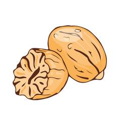 nut meg seasoning isolated on white background vector image vector image