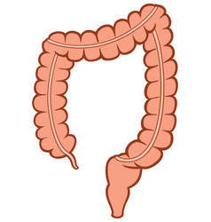 human large intestine vector image vector image
