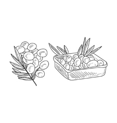 Olive branch and harvested olives hand drawn vector