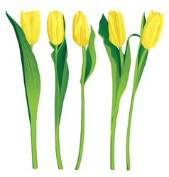 5 yellow tulips over white background vector image