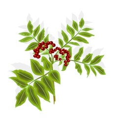 Twig rowan berry with leaves and berries vector