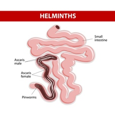 Helminths on small intestine vector